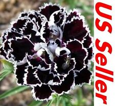 25 PCS Black/White Velvet Lace Carnation F51, Plant Flowers Seed US Seller