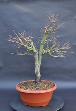Pre-Bonsai, Fächerahorn - Acer Palmatum