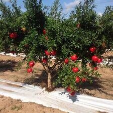 ☆Sweet & Juicy☆Giant Pomegranate☆ 15-Seeds ☆♡☆ UK Seller☆