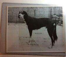 """Dog """"Saluki1950s/1960s by Nelson Groffman 8""""by10"""" dog#7"""