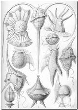 "ERNST HAECKEL CANVAS PRINT Art Nouveau Nature Sea Life 24""X 18"" Peridinea"