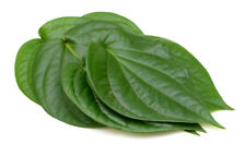INDIAN PAAN LEAVES 30 CT FRESH PICKED BY ORDER BETEL LEAF PUJA PAN KA PATTA