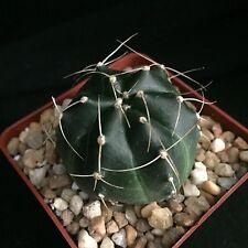 Echinocereus knippelianus, cactus plant