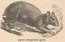 C8004 Dasyprocta aguti - Stampa antica - 1892 Engraving