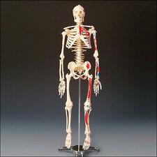 """25.5"""" Painted Human Skeleton/Skeletons Muscle Model New"""