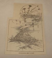 1887 magazine engraving ~ Stone-Mound Nest Of Dace