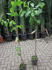 Schwarzer Maulbeerbaum 180cm  Maulbeere schwarze Früchte Morus nigra VEREDELT!
