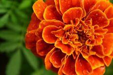 French Marigold 'Scarlet Sophia' Seed Annual Cut Flower Camellia-like Flower