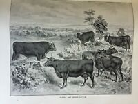 ANTIQUE PRINT C1910 SUSSEX AND DEVON CATTLE COWS BULLS FARM ANIMALS COW DAIRY