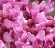 Red bud tree pink flowering native shrub redbud Live Plant