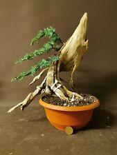 Bonsai tree tanuki  juniper semi trained great potential powerful trunk movement