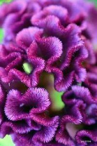30+ PURPLE COCKSCOMB / CELOSIA FLOWER SEEDS       LONG LASTIMG BLOOMS