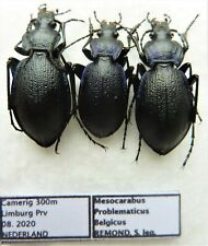 Carabus mesocarabus problematicus belgicus (pair A1 & female A1) NETHERLANDS