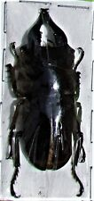 Stag Beetle Prosopocoilus forceps forceps Male FAST SHIP FROM USA