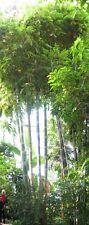 Dendrocalamus Giganteus - der tolle, sagenhafte Riesen-Bambus
