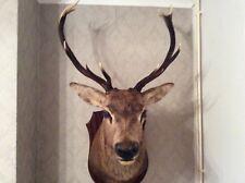 taxidermist red deer head
