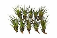 10-Pack of Air Plants - Includes 10 Tillandsia Tricolor Air Plants - Easy Care -