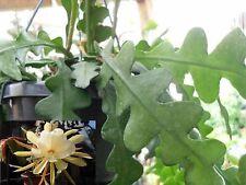 Bouture épiphyllum Cutting Cactus à Feuilles Epiphyllum Anguliger Fleur parfumée