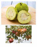 Samen-Spar-Set: die ausserirdische Milchorange und der vitaminreiche Granatapfel