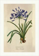 Blaue Liebeslilie Agapanthus Praecox Willd. Lily of the Nile ombelle Redoute 012
