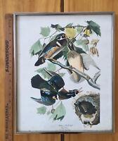 FRAMED!Vintage Original AUDUBON Wood Duck Print Bird Plate Picture Deco 14x17