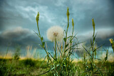 Photography Print of Large Dandelion on Stormy Day in Colorado