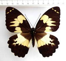 Papilio euchenor ssp.euchenor F ex Irian Jaja, Indonesien  No.30a