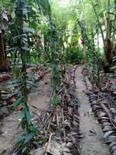 Vanilla Plant Planifolia Bean  Rooted plant (Matured) 15 CM stem