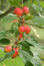 Crab Apple / Malus 'JOHN DOWNIE' Tree 4-5ft Tall, Ready to Fruit, Red Apples