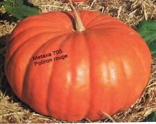 Courge Potiron rouge  10 graines  (bio)