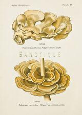 "Dufour's Atlas of Mushrooms - ""POLYPORUS SULFUREUS"" - Chromolithograph - 1891"