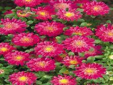 Aster Seeds Fan Deep Rose 100 flower seeds