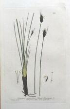 BLACK SEDGE SCHOENUS NIGRICAN Baxter Antique Engraved Botanical Flower Print1838