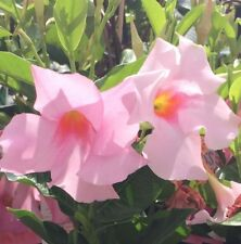 FAIRY FLOSS Mandevilla sanderi star-shaped pink flowers plant in 140mm pot