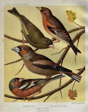 "Cassell's Bird Chromolithograph - ""Greenfinch Chaffinch, Haw Finch"" - 1880"