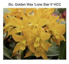 Pot Roy's Magic 'Chinese New Year' X Slc Golden Wax 'Lone Star ll' HCC (15) 6375