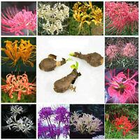 5Pcs Blue Lycoris Radiata, Spider lily, Lycoris Bulb Pop*