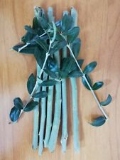 5 Olive Tree Fresh Cuttings  From Holy Land + Olive Leaf as Gift