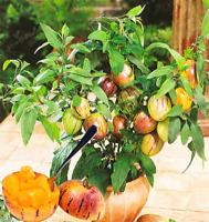 Mini Sweet Melon Bonsai Tree Organic Fruit Vegetable Home Garden B 100 Pcs Seeds