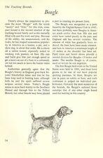 "The Beagle - Vintage Dog Art Print - Matted ""G"""