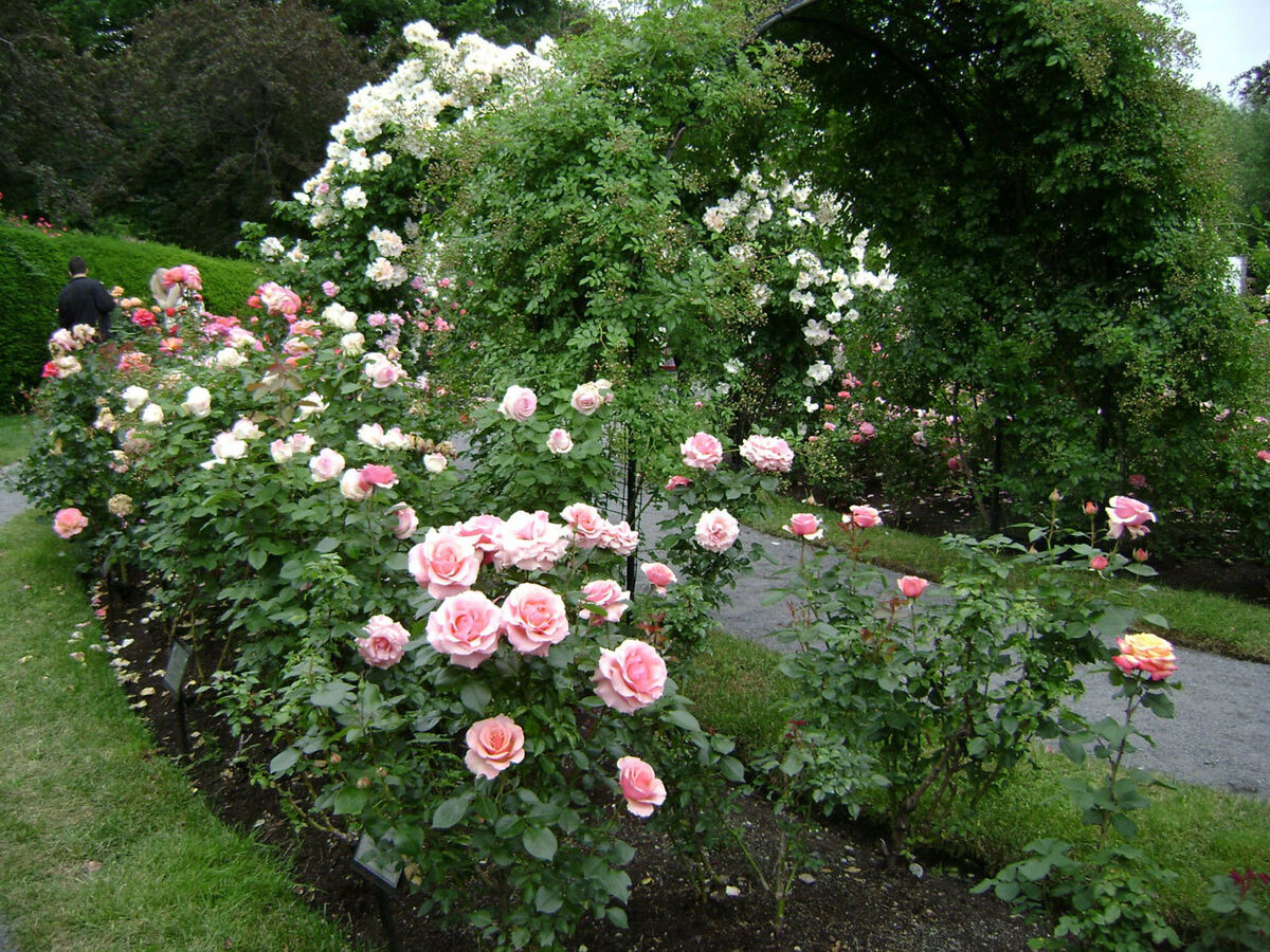 The Old Rose Patch