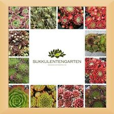 10x Sempervivum Rosetten Hauswurz Dachwurz Staude Pflanze Winterhart mind.4Sorte