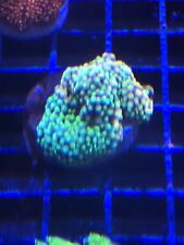 New listing Ultra Ricordea - Wysiwyg Live Coral Frag - Pop Corals Candy Shop