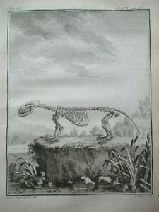 Rare Otter Skeleton Animal Anatomy Antique Print Buffon Copper Engraving 1758