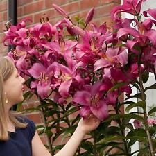 12 Robina Pink Tree Like Lily Lilies OT Hybrid Goliath Fragrant  Summer Bulbs