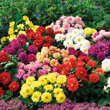 2X New Dahlia Large Bloom Flower Perennials Bulbs Garden Plant Tuber^