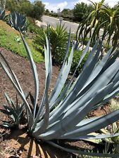 Agave Tequilana, Blue agave or Tequila agave, Pups Bare Root 10 - 12""