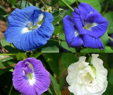 100Pcs Clitoria Ternatea Seeds Bonsai Plants for Garden Ornamental Flower Decor