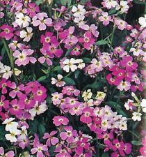 Phlox Beauty Mix seeds,  50 seeds, Cottage Garden display