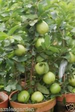 BONSAI GIANT THAILAND GUAVA FRUIT SEEDS - 30 seeds Imported Seeds